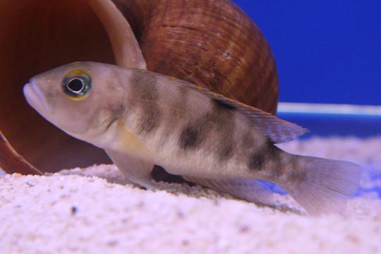 Neolamprologus boulengeri, Quelle: Wikimedia Commons / Melanochromis, Lizenz: Public Domain
